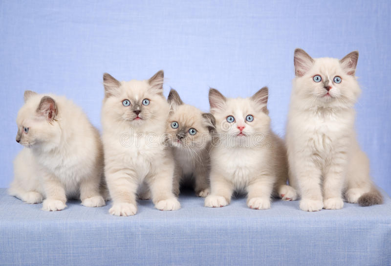 5 Ragdoll kittens on blue background stock photography