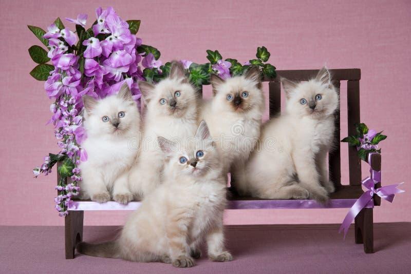 5 Ragdoll kittens on mini bench stock photos