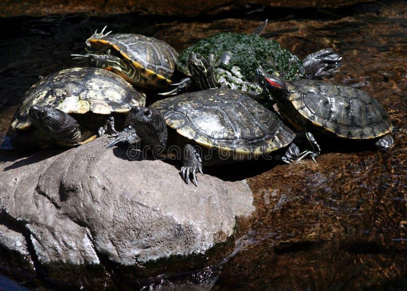 5 sköldpaddor royaltyfria bilder