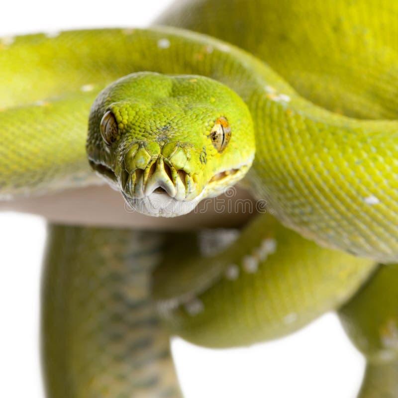 5 vieux ans verts de viridis d'arbre de python de Morelia image libre de droits