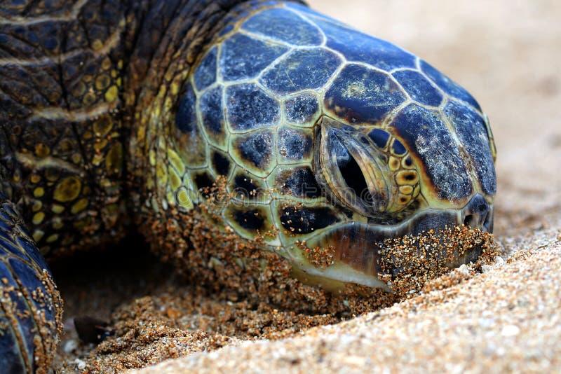 5 zielony denny żółw obraz stock