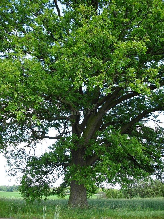500 jaar oude eiken boom vector illustratie