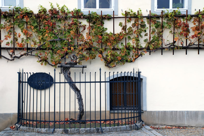 500 years old grapevine Maribor - Slovenia royalty free stock image