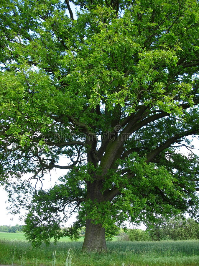 500 years old oak tree vector illustration