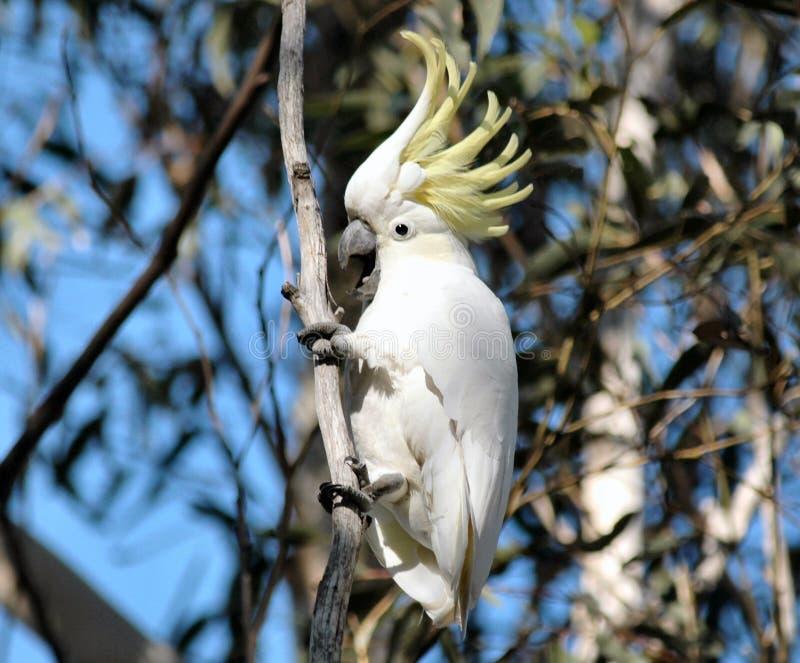 597-Cockatoo foto de stock