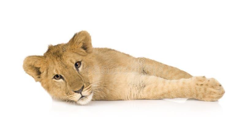 6个崽狮子月 图库摄影