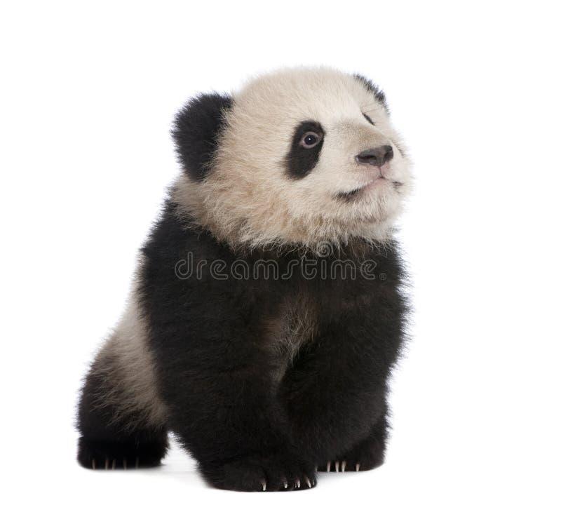 6个巨型月熊猫 免版税库存图片
