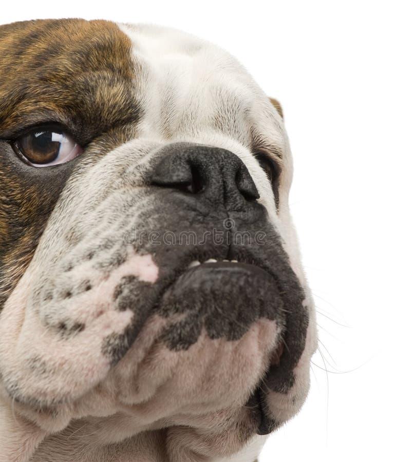 6个牛头犬英语月 免版税库存图片