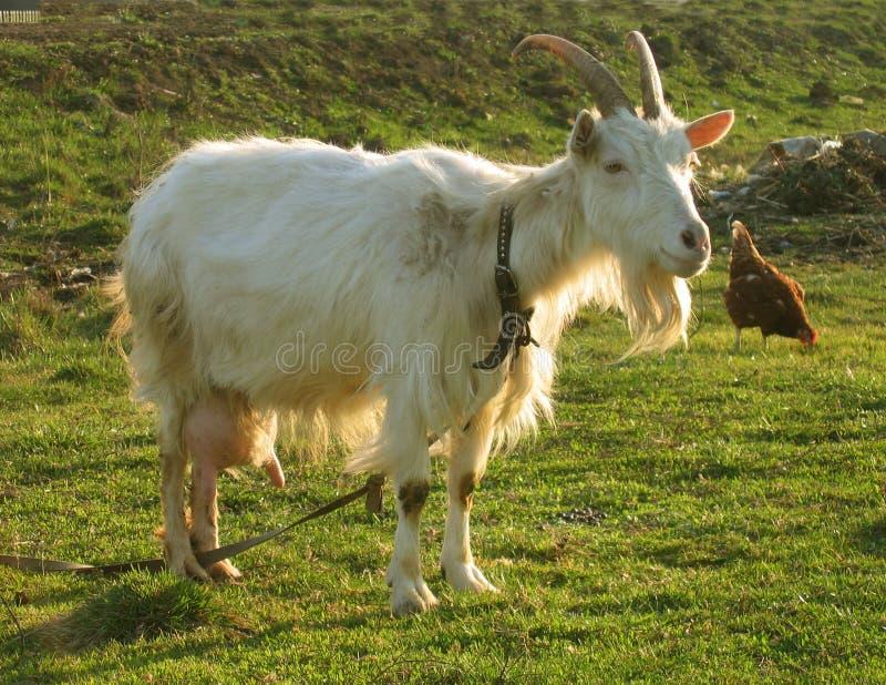 6变白的山羊保姆 免版税库存照片