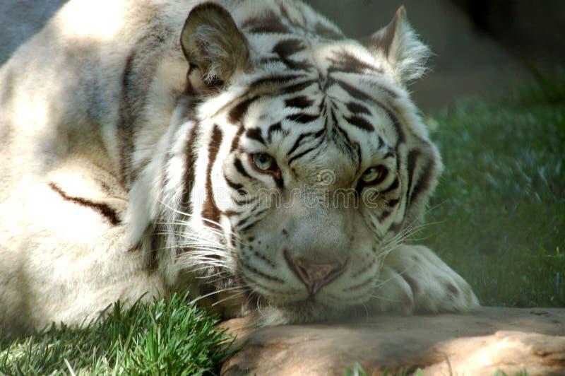 6只老虎白色 免版税库存照片