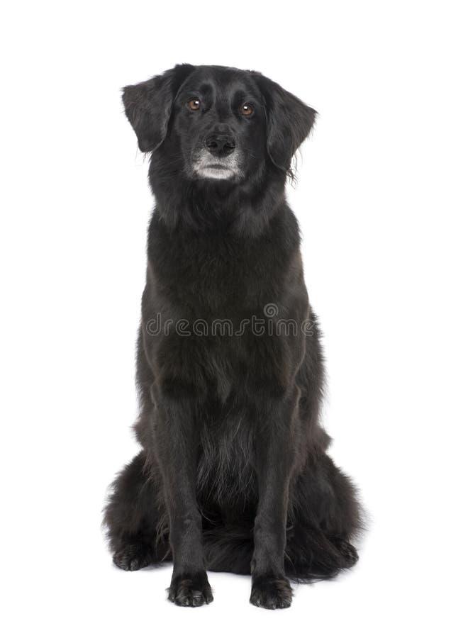 6品种狗拉布拉多混杂的老年 图库摄影