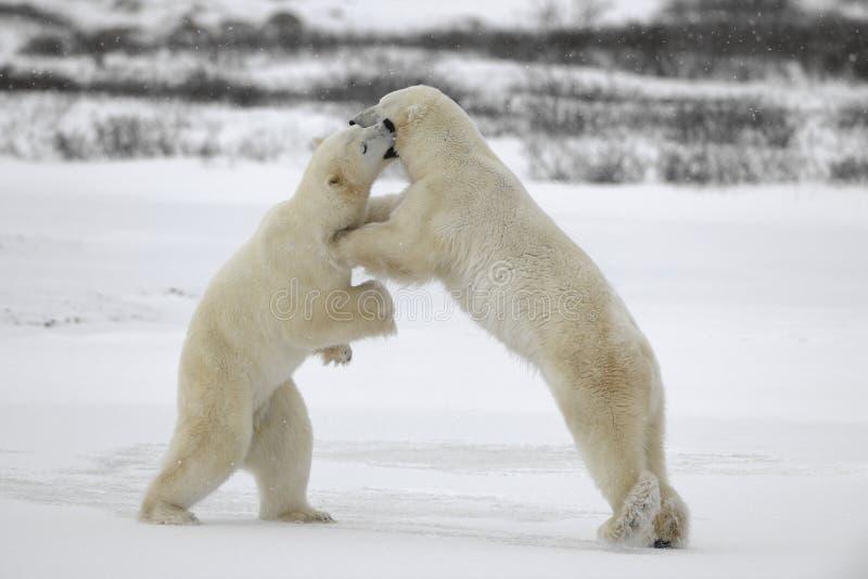 6头熊与极性战斗 库存照片