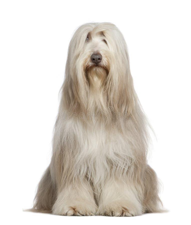 6有胡子的大牧羊犬老年 库存图片
