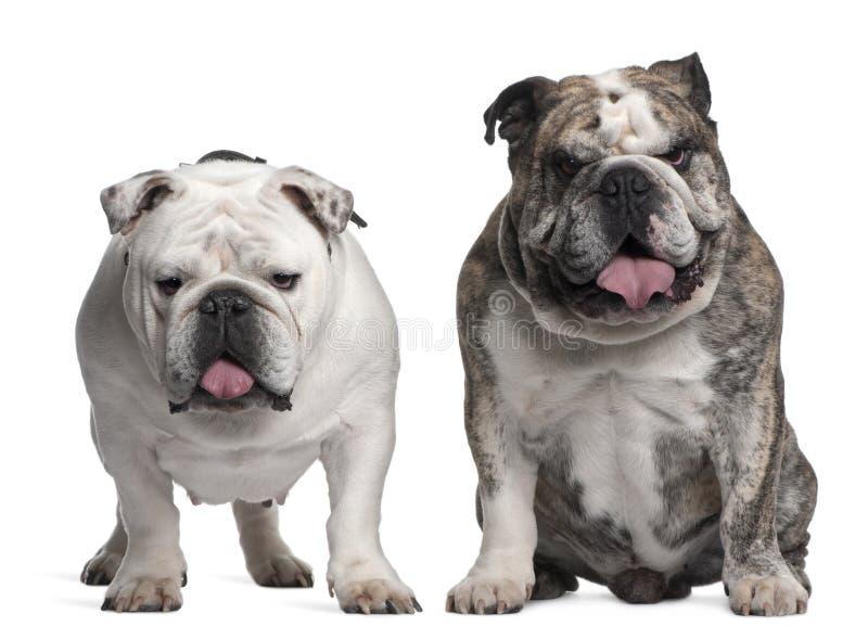 6牛头犬英国老年 免版税库存照片