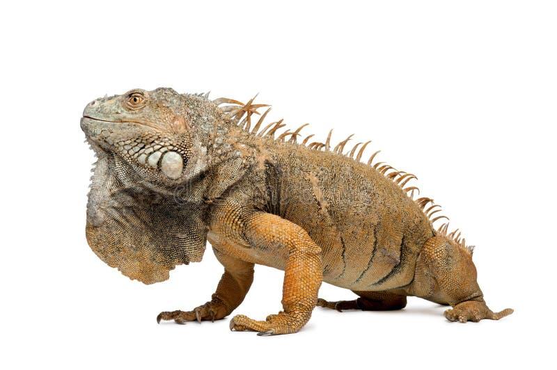 6绿色鬣鳞蜥侧视图年 库存图片