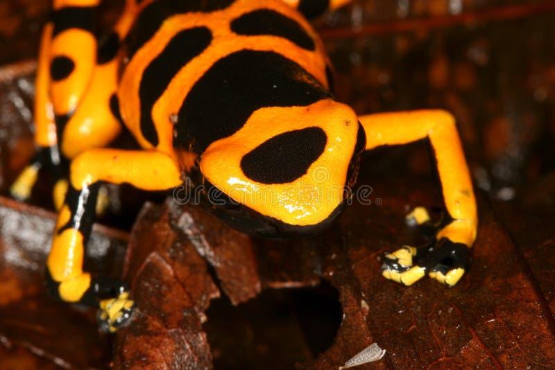 6青蛙朝向毒物黄色 库存图片