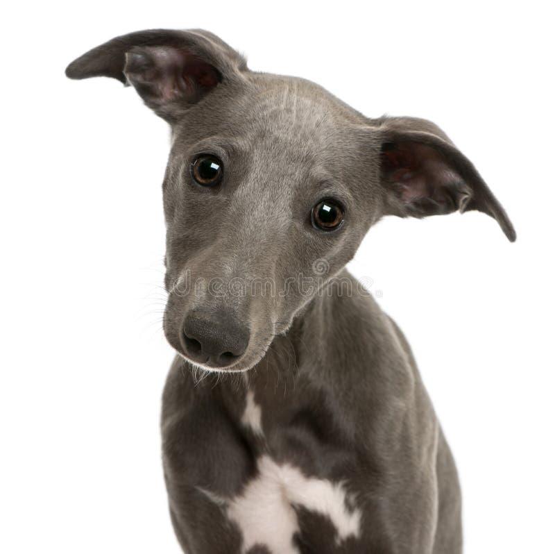 6 близких месяцев старого щенка вверх по whippet стоковая фотография
