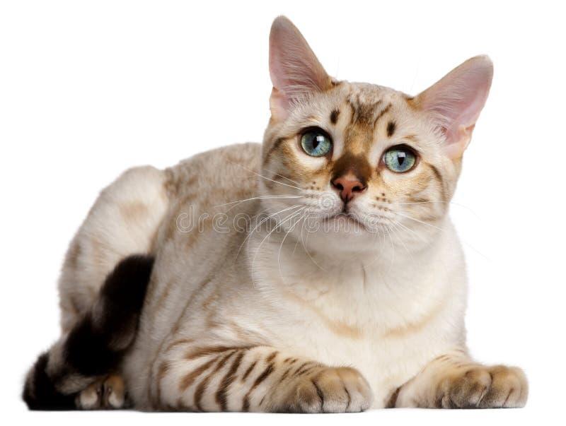 6 месяцев кота Бенгалии лежа старых стоковое фото