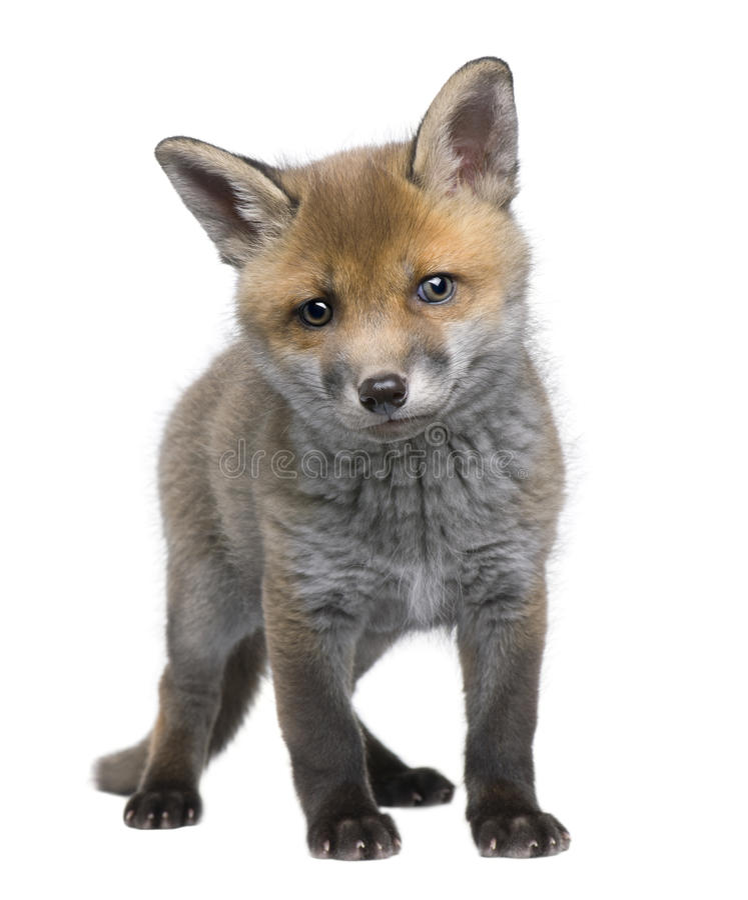 6 неделей vulpes лисицы новичка старых красных стоковые изображения rf