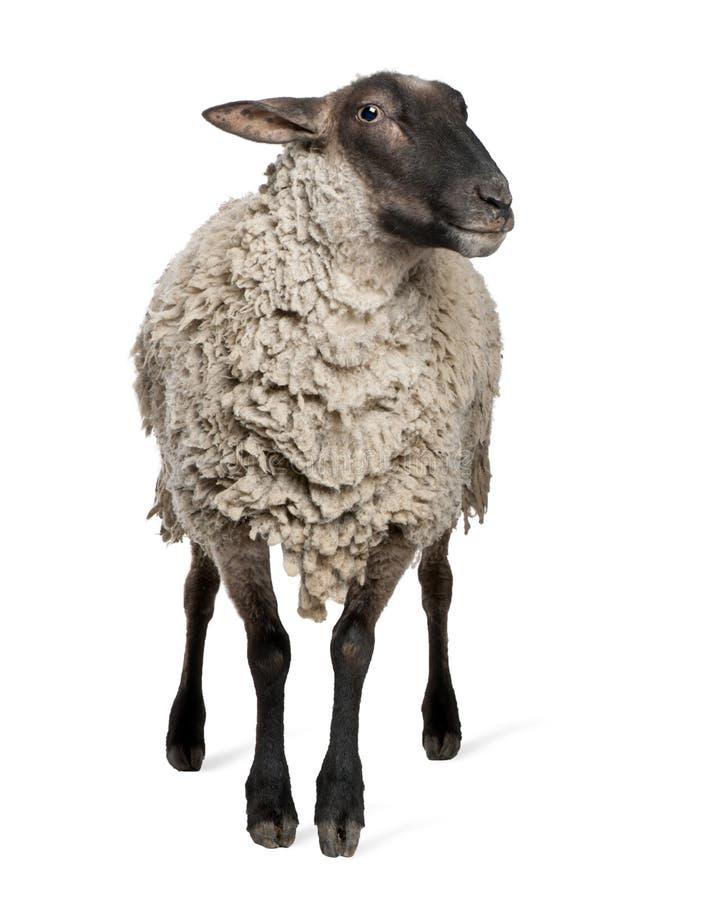 6 старых лет суффолька овец стоковое изображение