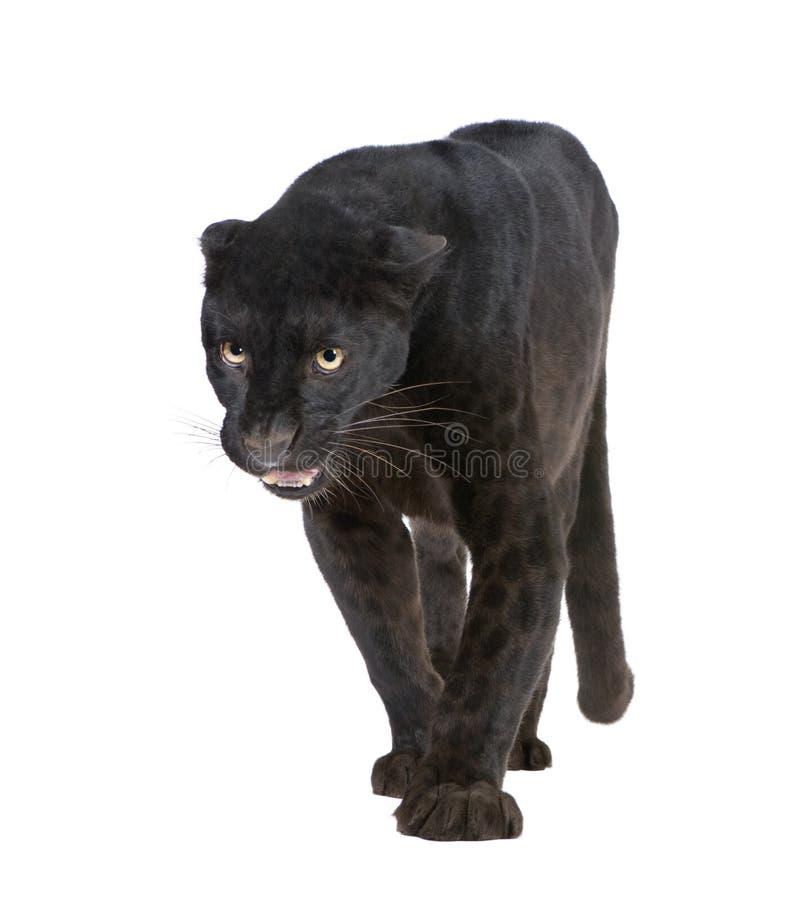 6 черных лет леопарда стоковое фото