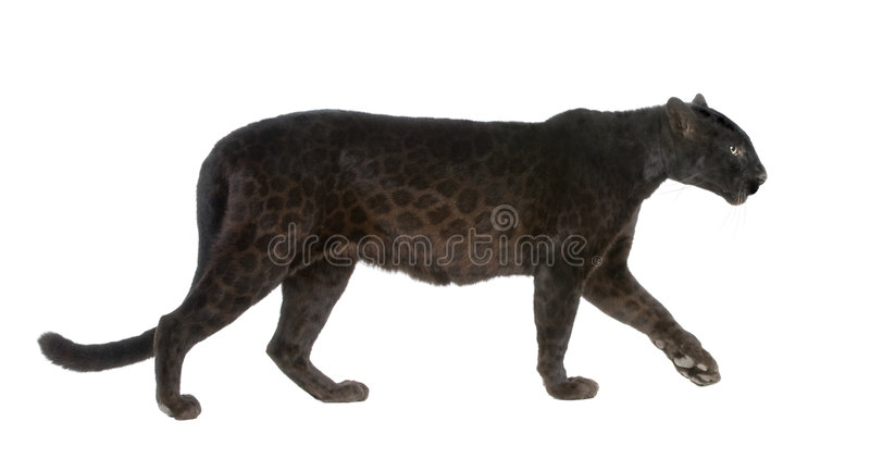 6 черных лет леопарда стоковое изображение