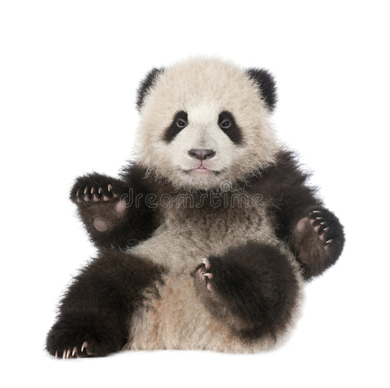 6 ailuropoda gigantycznych melanoleuc miesiąc stara panda obrazy stock