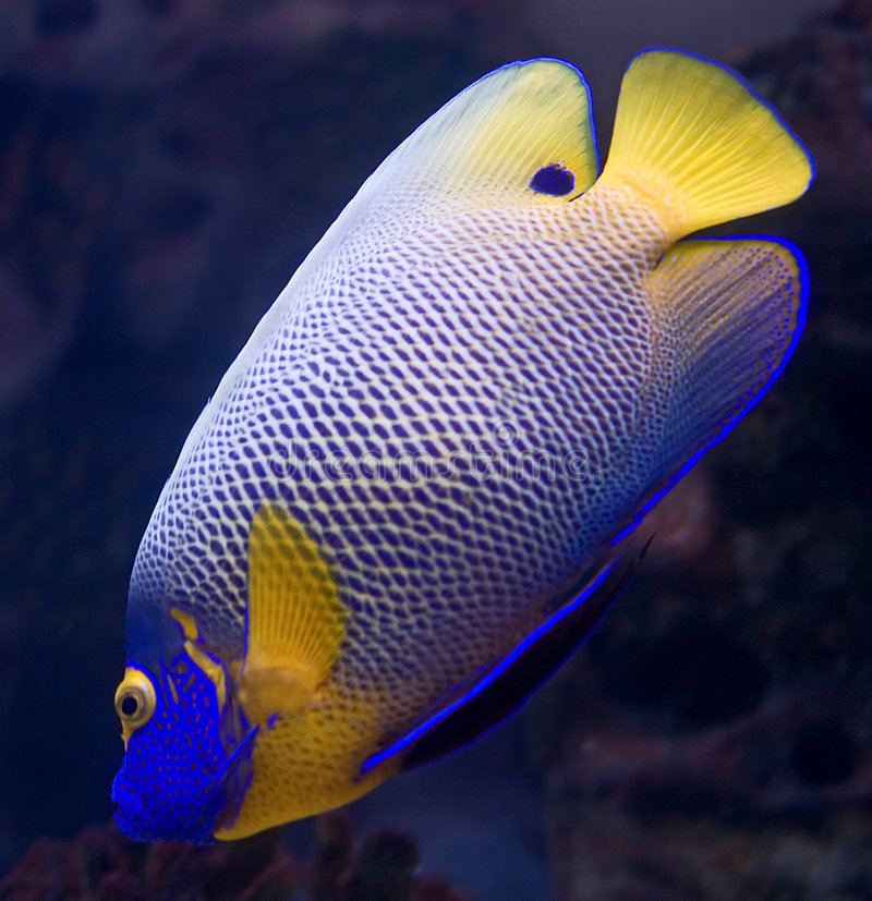 6 angelfish blueface fotografia royalty free