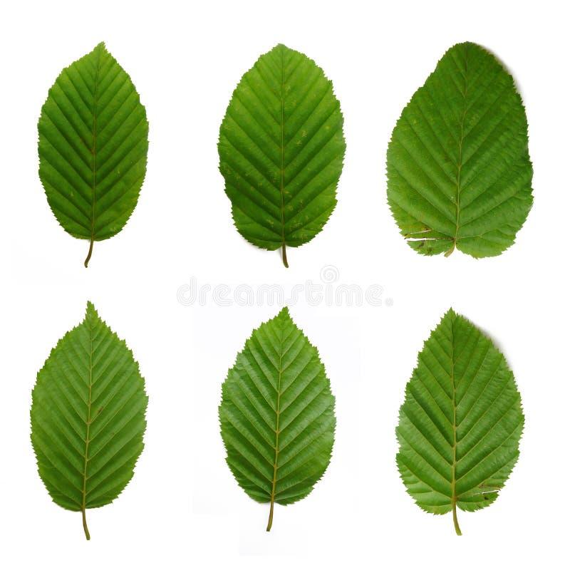 6 beech leafs stock image