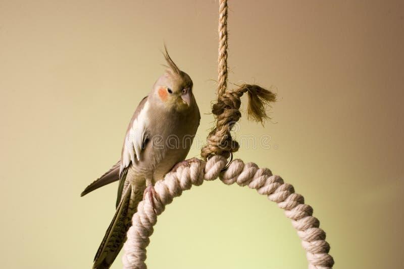 6 canelle cockatiel fotografia stock
