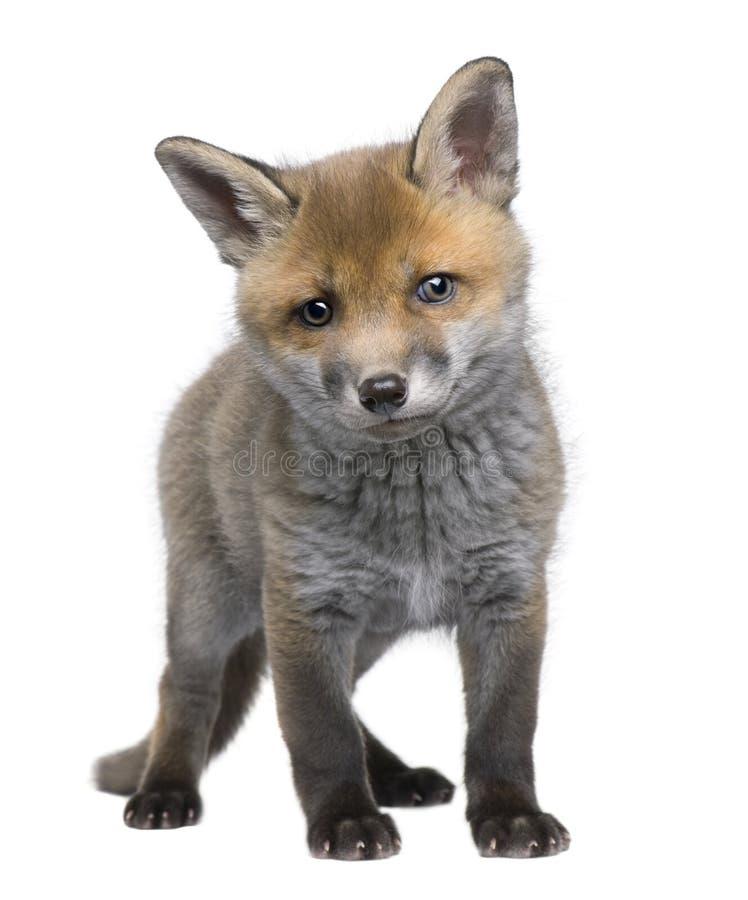 6 cub παλαιές κόκκινες εβδομάδες vulpes αλεπούδων στοκ εικόνες με δικαίωμα ελεύθερης χρήσης