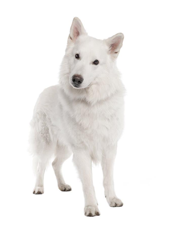 6 för herdewhite för hund gammala år arkivbilder