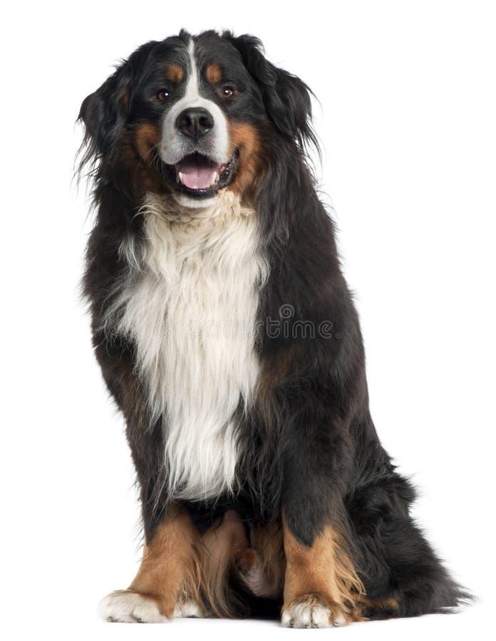 6 gammala sittande år för bernese hundberg royaltyfria foton