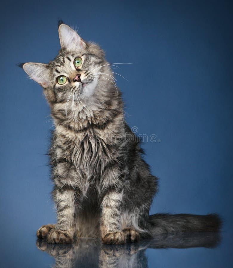 6 kattcoonmaine månader arkivfoto