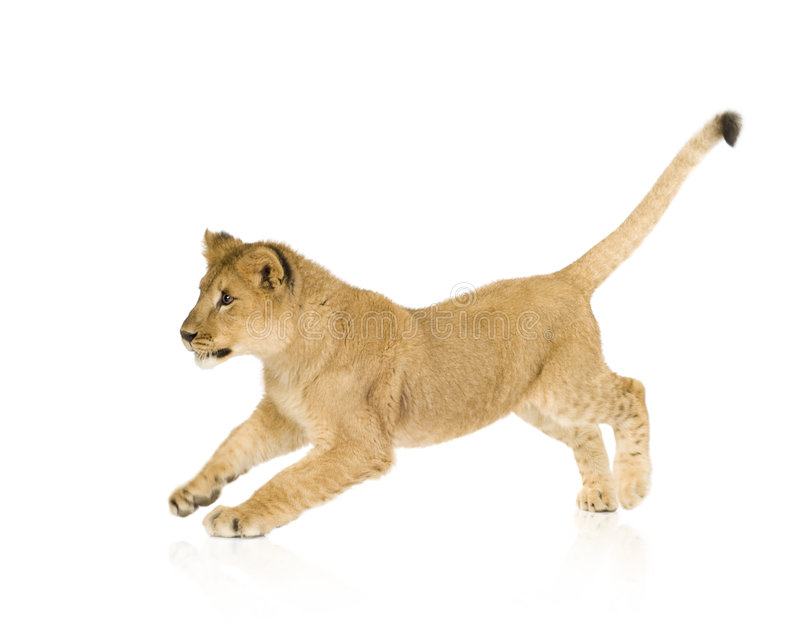 6 lwa młode miesięcy zdjęcia stock