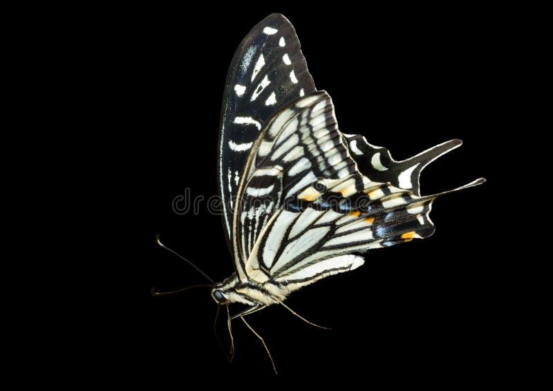 Download 6 motyli papilio xuthus zdjęcie stock. Obraz złożonej z insekt - 13341504