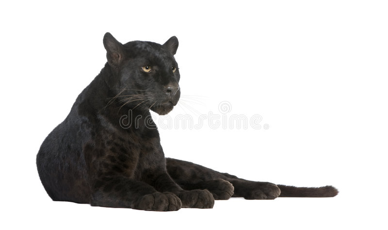6 svarta leopardår arkivbild
