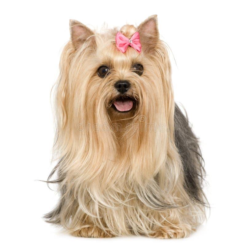 6 terrierår yorkshire arkivfoton