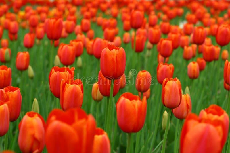 6 tulipanów obrazy stock