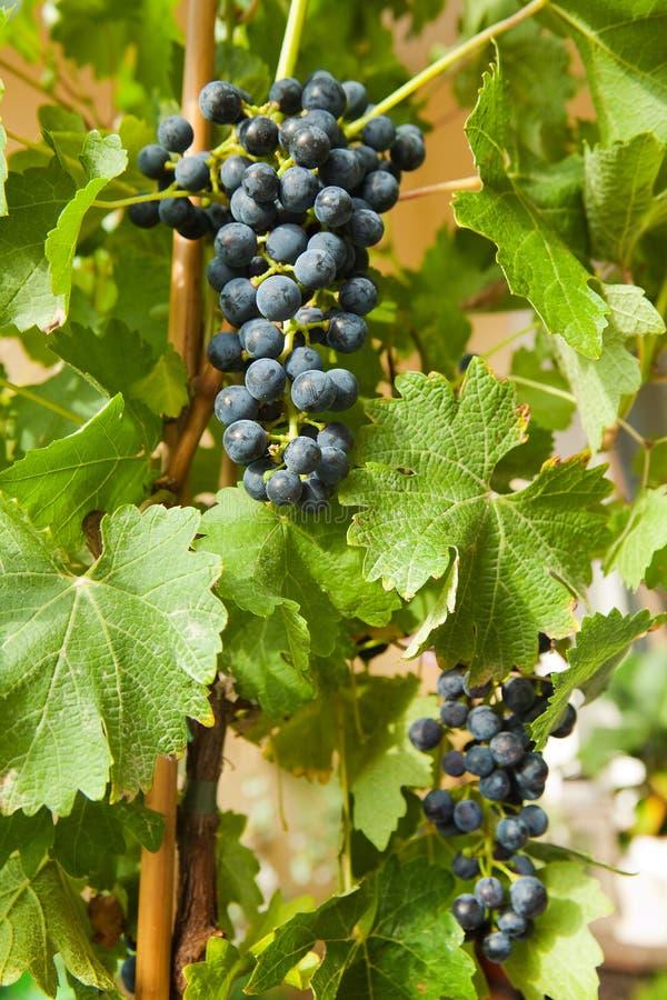 6 winogron winograd obraz royalty free
