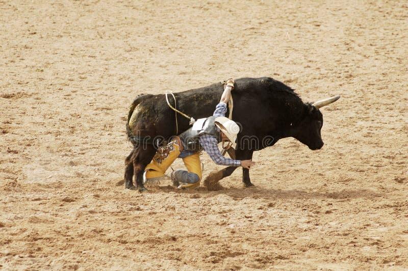 7头公牛骑马 免版税库存照片