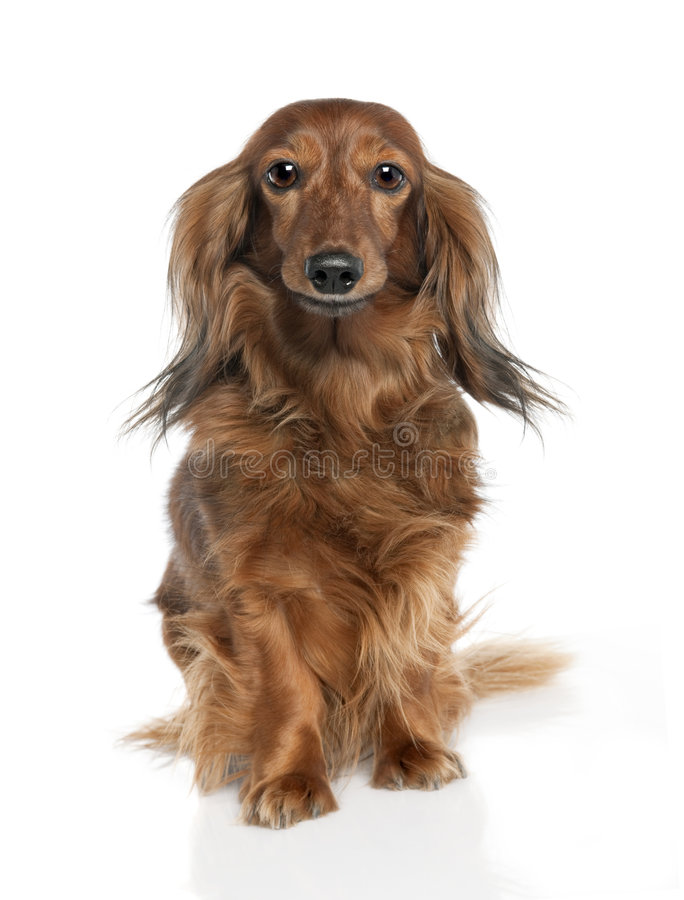 7 παλαιά έτη dachshund στοκ εικόνα με δικαίωμα ελεύθερης χρήσης