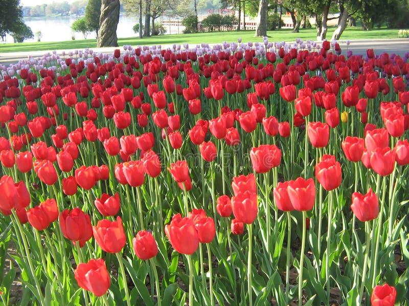 7 празднество Голландия может тюльпан стоковая фотография rf
