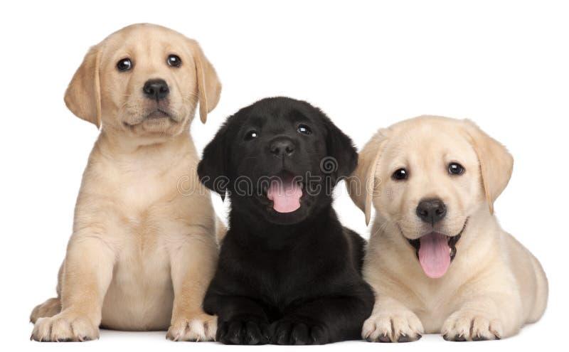 7 щенят labrador старых 3 недели стоковые изображения rf