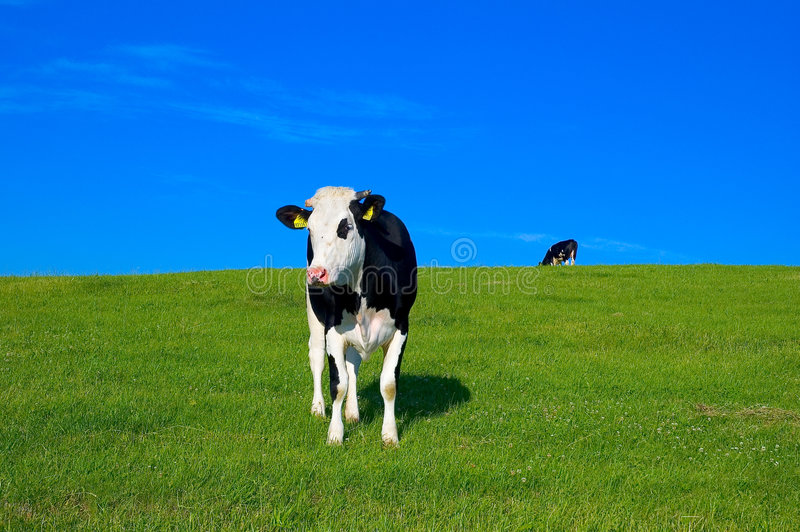 7 krów pole obraz royalty free