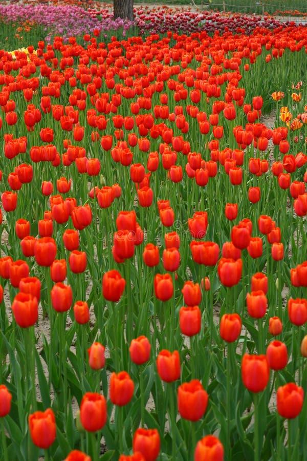 7 tulipanów obrazy royalty free