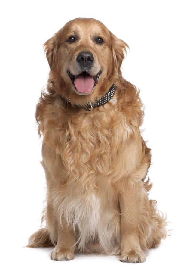 7 vieux ans d'or bruns de chien d'arrêt de halètement photographie stock