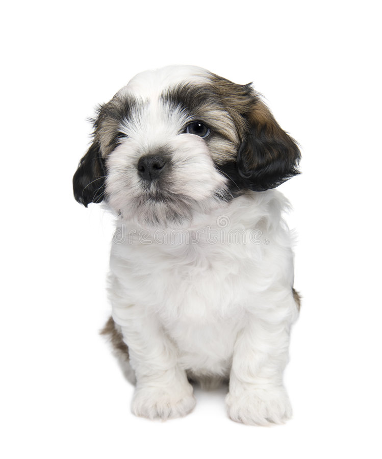 7 wweks de tzu de shih de chiot photos stock