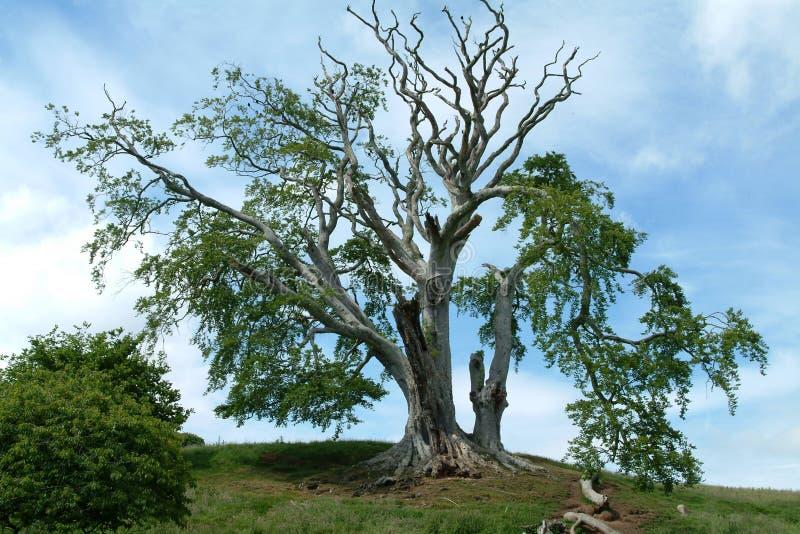 700根山毛榉老苏格兰结构树年 库存图片