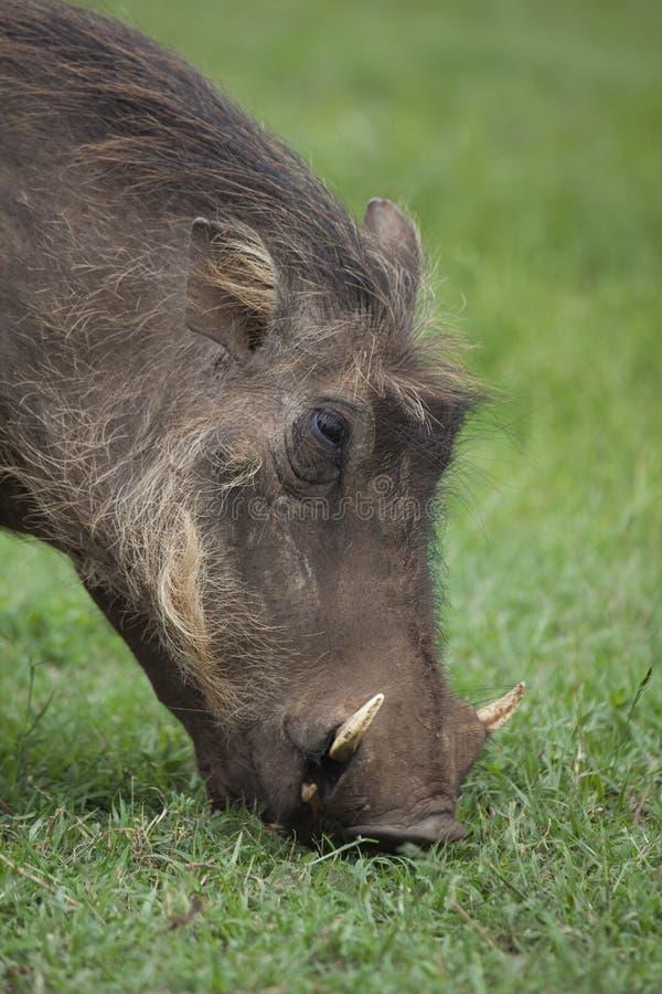 7287 warthog 免版税库存图片